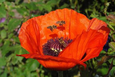 poppy-4273047_1920