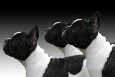 Psy ozdobne i do towarzystwa