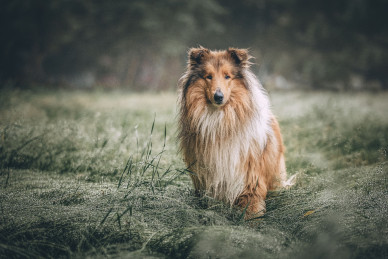 rough-collie-5631188_1920